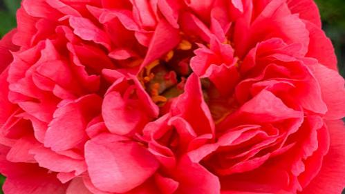 AAA Coral Charm Or Pink Hawaiian Coral