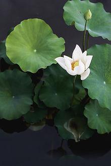 whitelotus.jpg