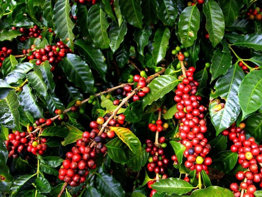 Colombian Coffee Farms – The Economics and Production