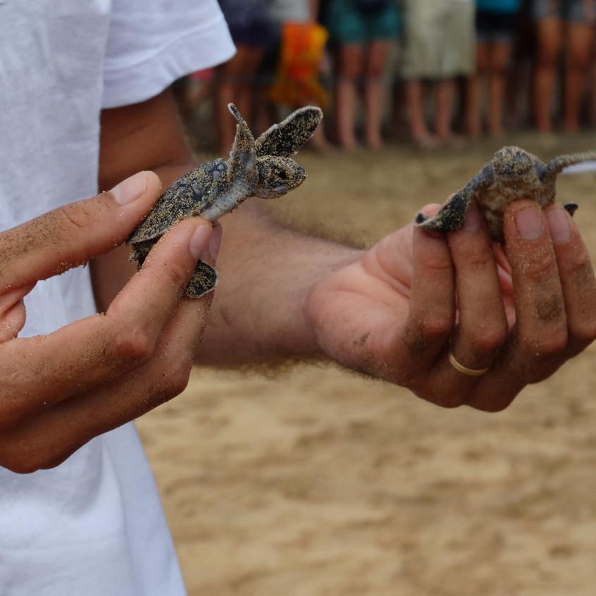 Biólogos do Projeto Tamar soltando filhotes de tartaruga marinha.