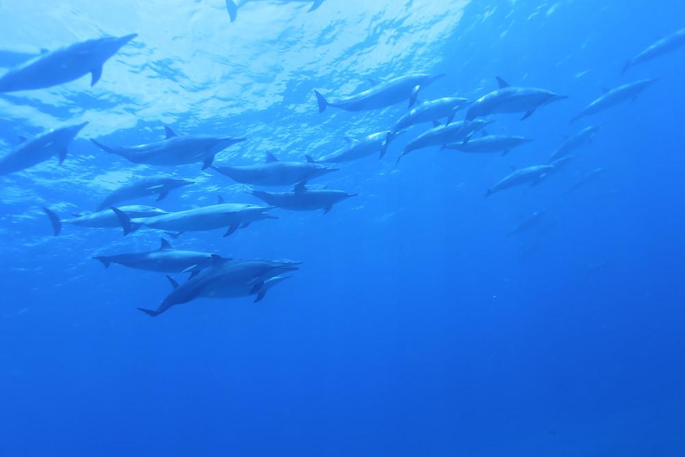 Golfinhos rotadores