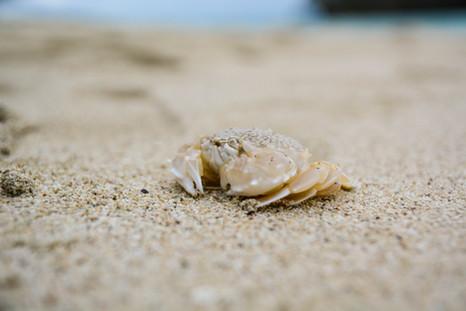 Petit crabe, Îlot Kumo