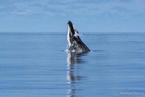 Projection en avant, Baleine à bosse