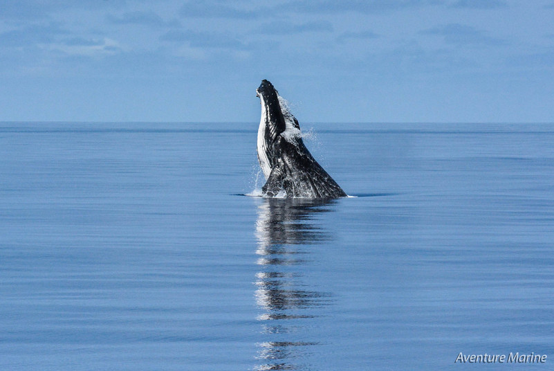 Baleine à bosse, Grand Lagon Sud