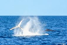 Show des baleines à bosse
