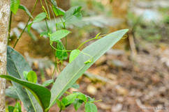 Végétation, Îlot Casy