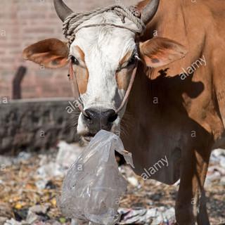 cow-eating-a-plastic-bag-india-BN5WTM.jp