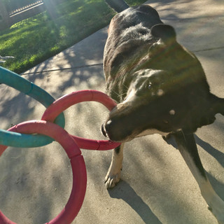Diva playing with Fetch Pet Care Sitter, Van Nuys, CA