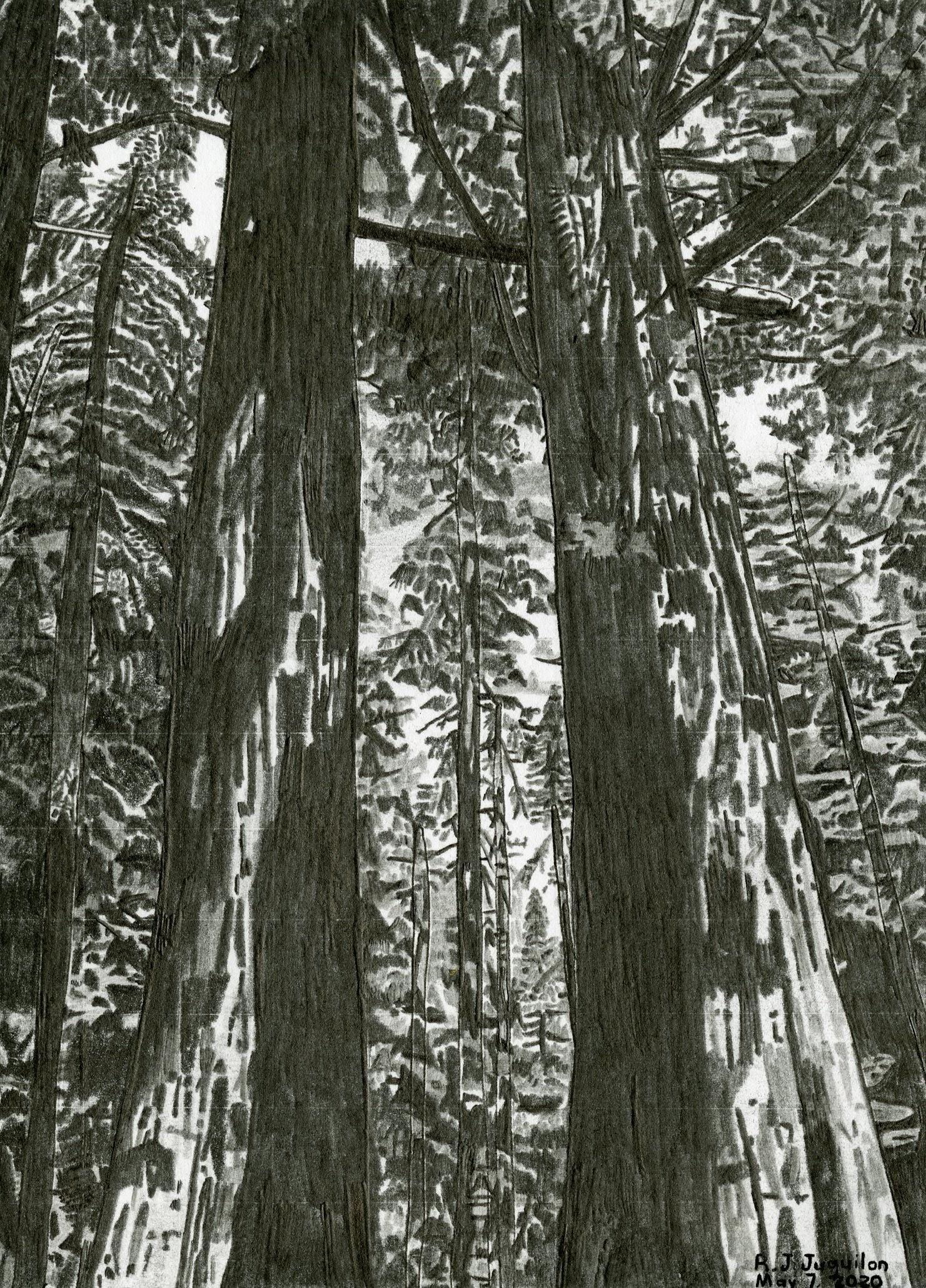 """Sequoias in California"" by R.J. Juguilon"
