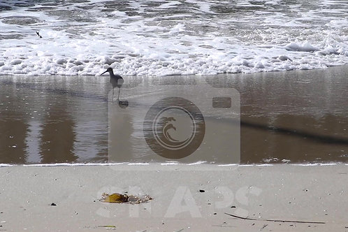 Sandpiper playing in the waves