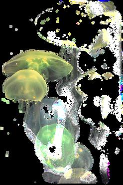 Yellow%20jellyfishh_edited.png