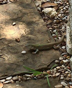 Texas Spotted Whiptail: a speedy lizard that's always ready to eat