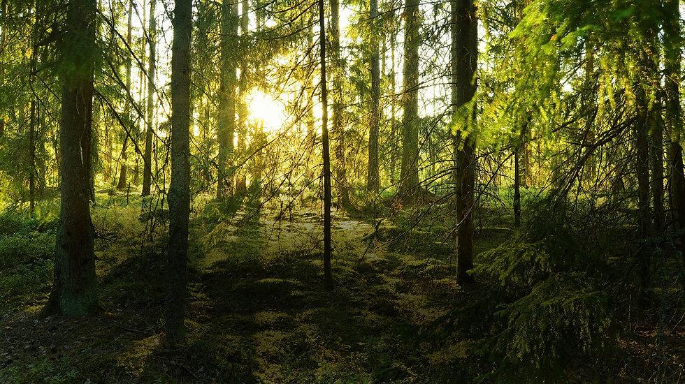 swe forest.jpg