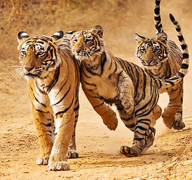 Rajasthan Wildlife Tour Packages from Jaipur | Wildlife Rajasthan Tours