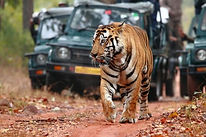 ranthambore tiger safari tour, golden triangle ranthambore packages