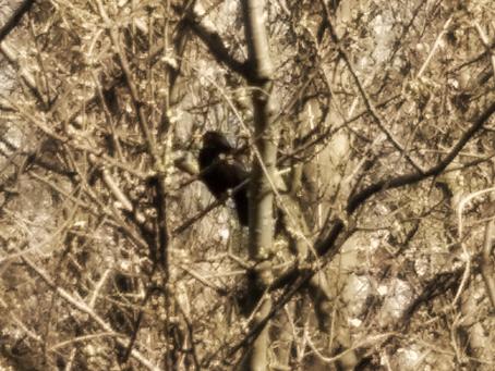 Why a Blackbird
