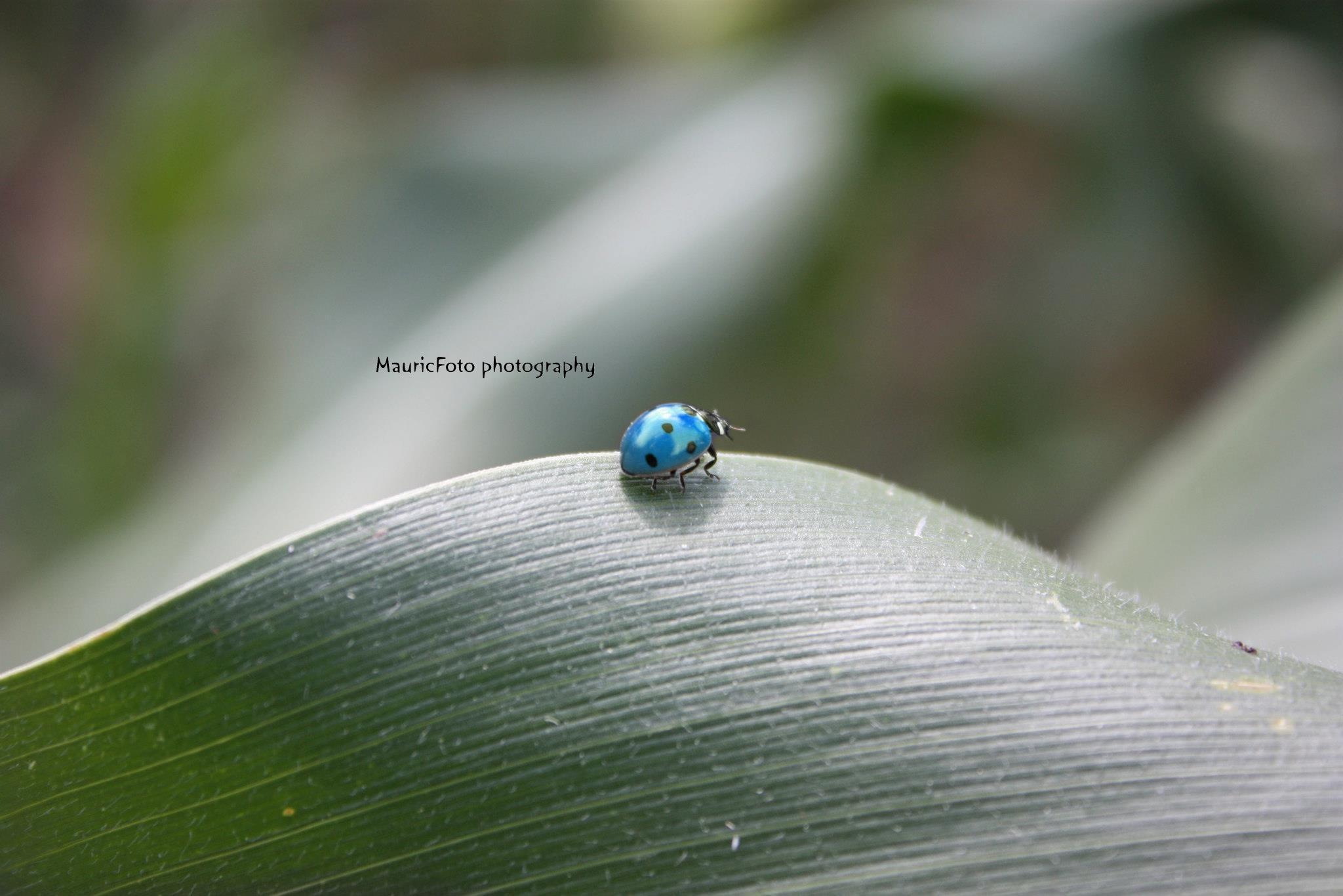 modrá lienka