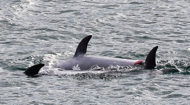 Bottlenose dolphins mating in Byron Bay Australia