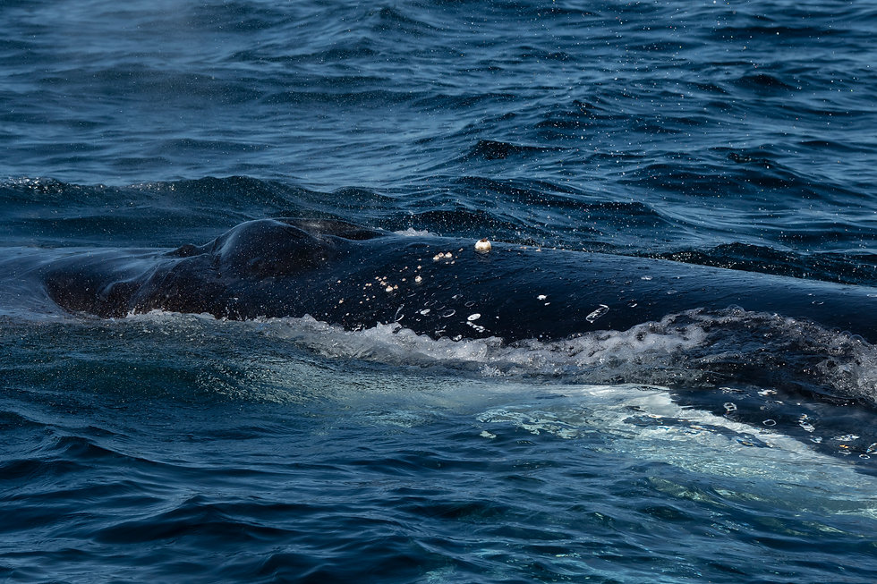 Humpback whale southern migration photographed by Sonia Friedrich
