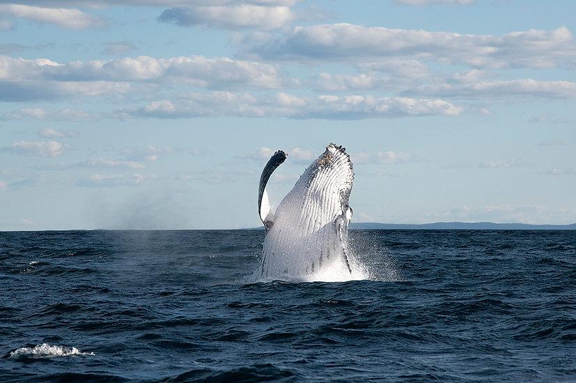 Whale #12