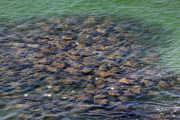 Fever of stingrays, Wategos Byron Bay Australia