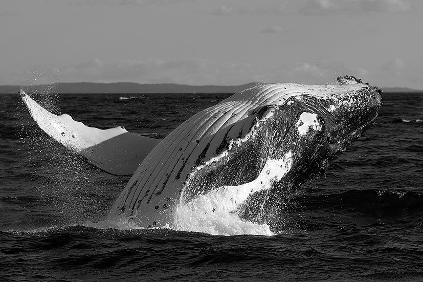 Whale #15