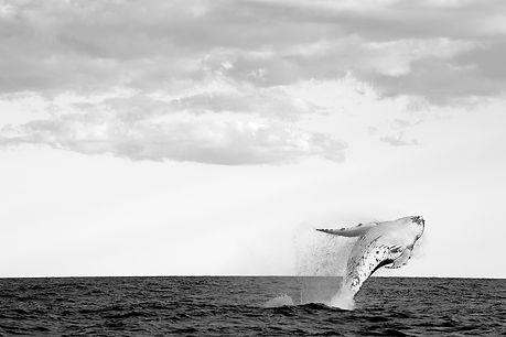 Humpback whales, Byron Bay, Australia photographed by Sonia Friedrich