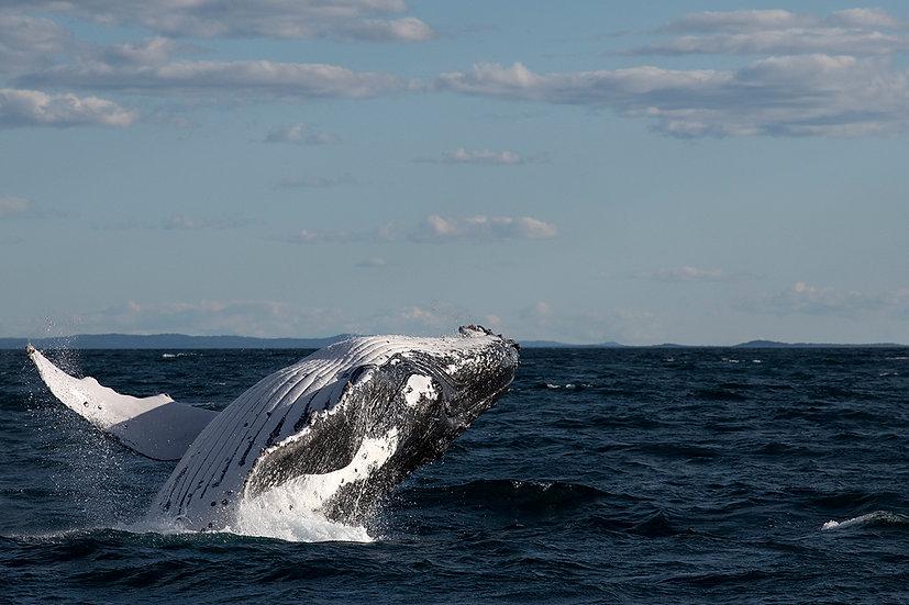 Whale #16