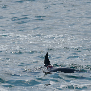 Dolphin Mating #4