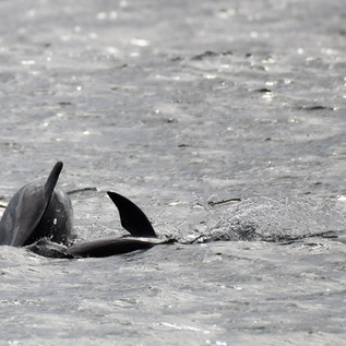 Dolphin Mating #13