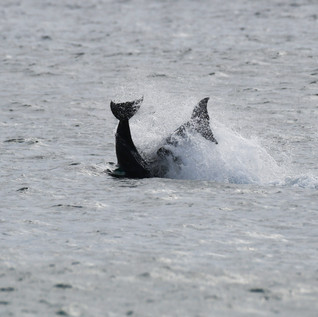 Dolphin Mating #14