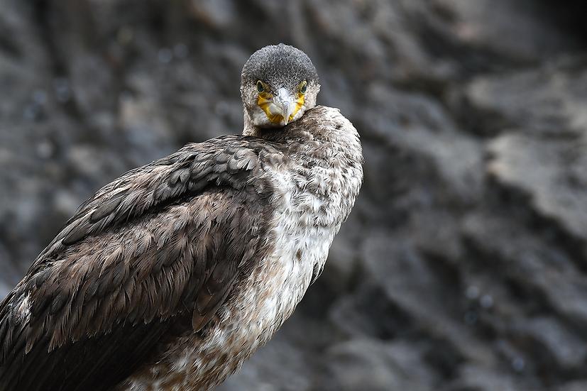 Cormorant Camouflage I