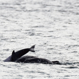 Dolphin Mating #15