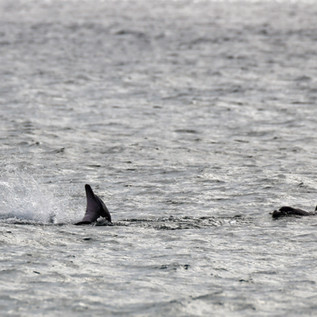 Dolphin Mating #18