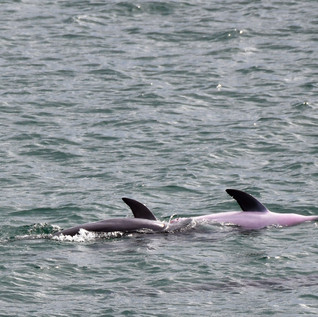 Dolphin Mating #8