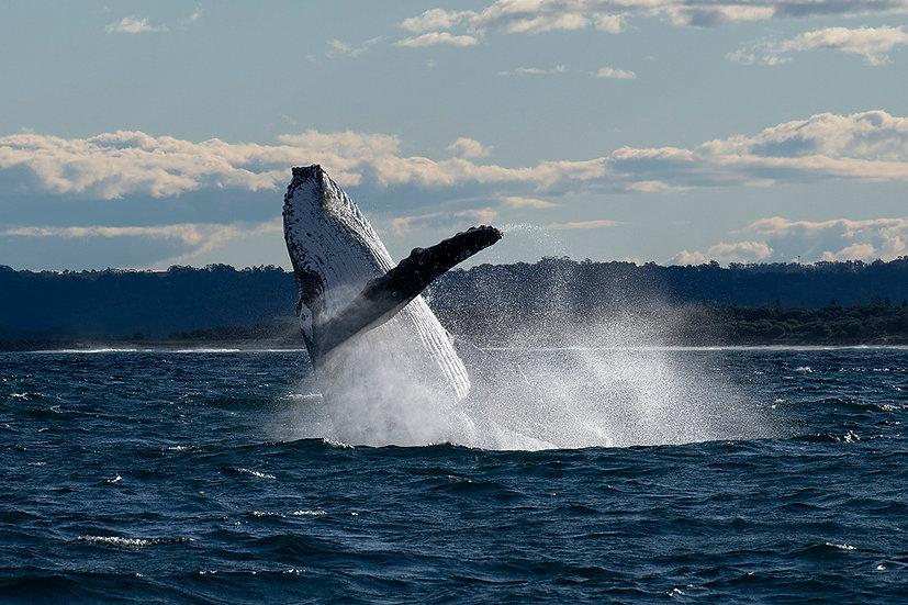 Whale #19