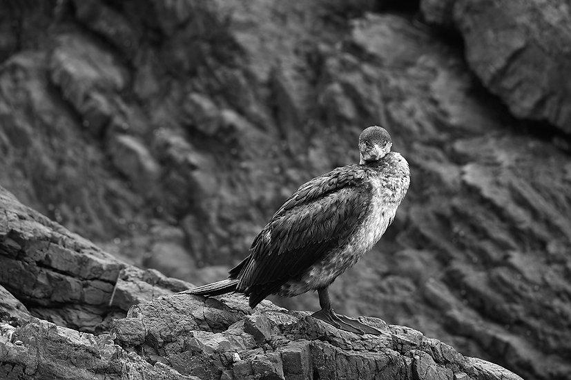 Cormorant Camouflage II