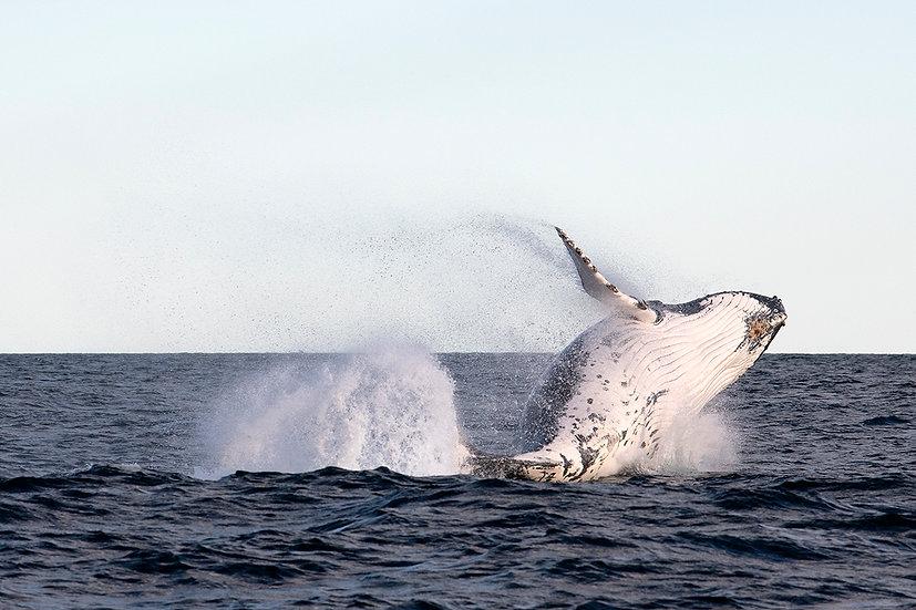Whale #8