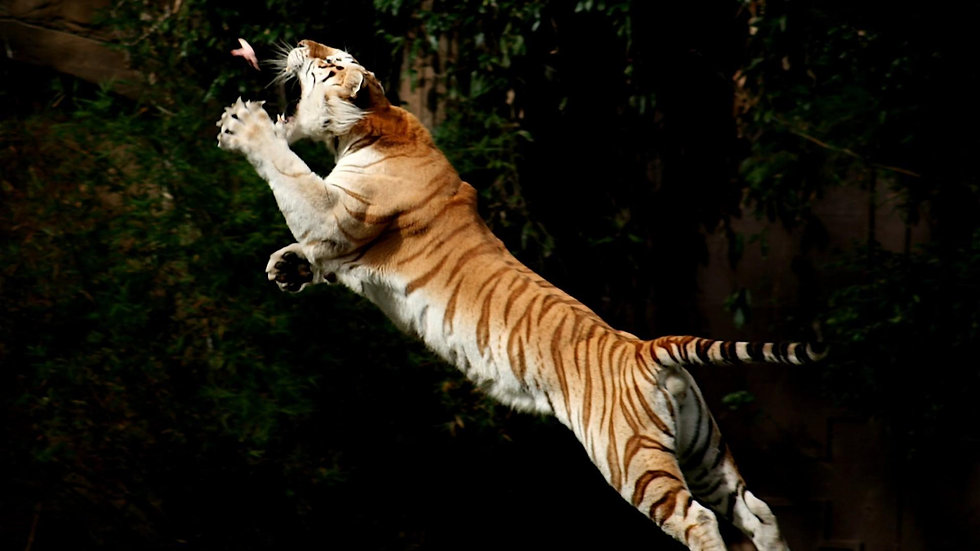 Tiger-Jump-Eat-Birds-Wallpaper.jpg