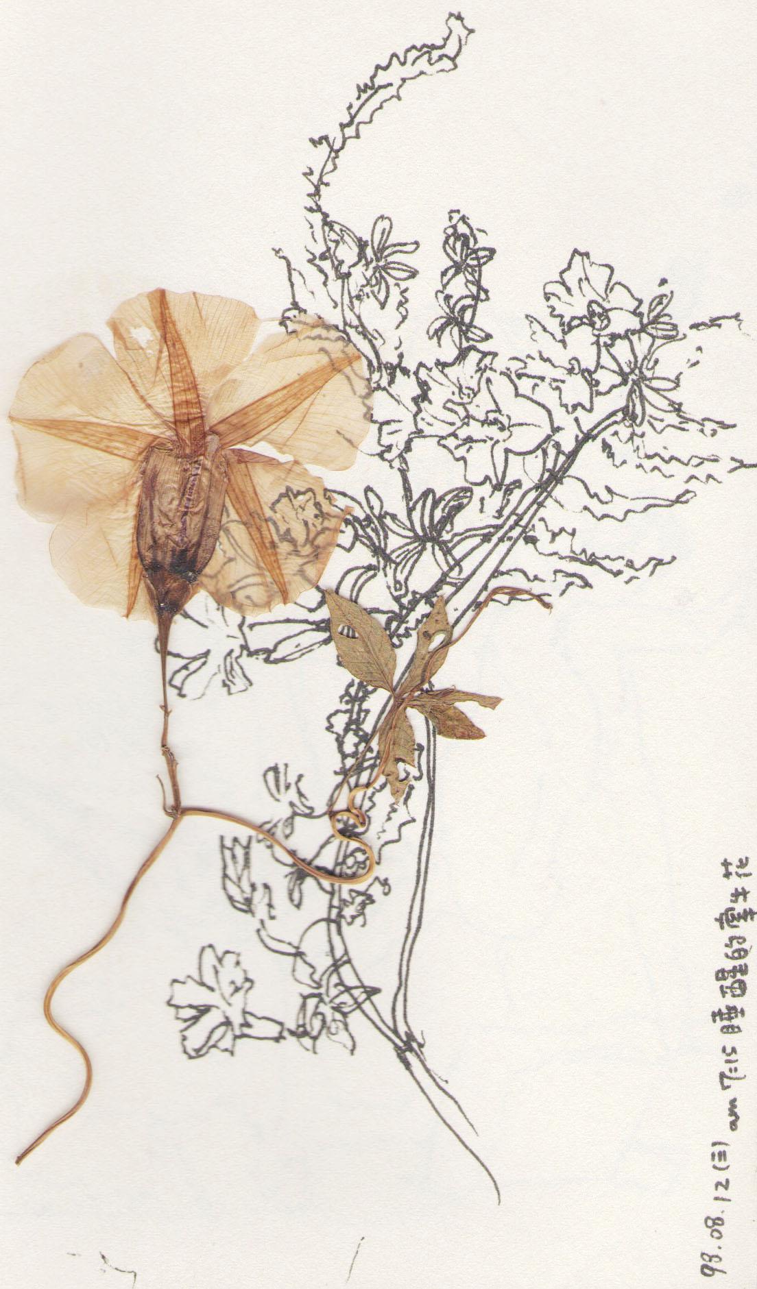 2.flower-牽牛花.nthu.jpg