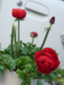 rosalia0.jpg