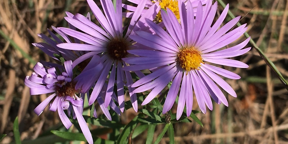 Late Summer Aster and Goldenrod Walk
