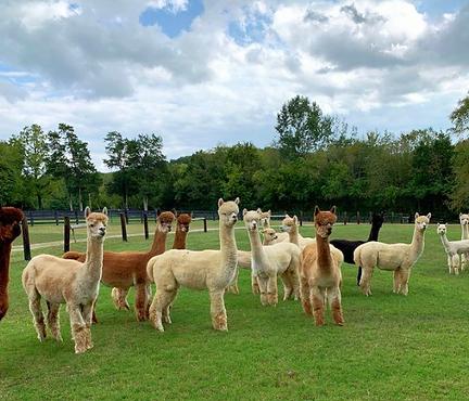 Mistletoe Farm Alpacas.png