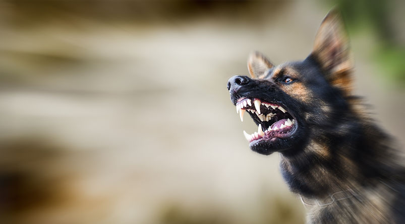 Aggressive dog shows dangerous teeth. Ge