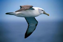 Albatross - White capped