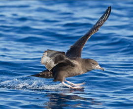 Shearwater, Flesh Footed