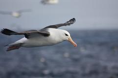 Albatross - Black Browed