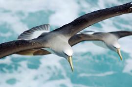 Albatross - Salvins