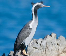 Shag, Spotted
