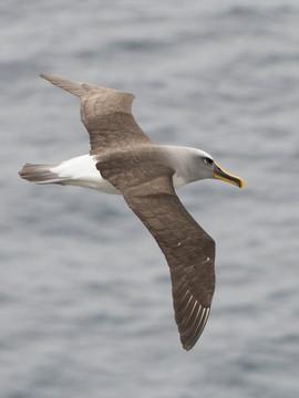 Albatross, Bullers